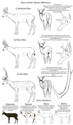 Basic Deer Species tutorial by creepygoth666.deviantart.com on @DeviantArt