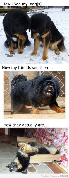 I hate how people judge dogs by there breed every dog is born to love but some owners change them and turn them into fighting dogs :( I LOVE Tibetan Mastiffs though... SO MUCH!!! <3 I know the middle one is one of them... The others could be Bernese Mountain Dogs (Also <3) though.