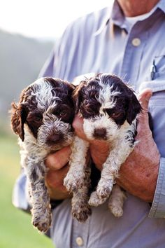 As Blackberry Farm prepares for its first truffle harvest, it is raising Lagottoone of Italy's oldest dog breeds—to root them out Cute Puppies, Cute Dogs, Dogs And Puppies, Doggies, I Love Dogs, Puppy Love, Baby Animals, Cute Animals, Spaniel Puppies