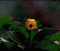 Blooming flower. .  Gif animation