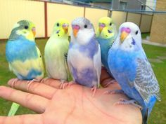 ZHandzähung Nestjunge Rainbow Budgerigars in ver. Colors❤️❤️ in North Rhine-Westphalia - Lemgo Parakeet Colors, Budgie Parakeet, Budgies, Parrots, Cockatiel, Parakeet Cage, Cute Birds, Pretty Birds, Beautiful Birds