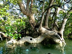 Mangroves cover of Australia's coastline and is home to many birds and sea-life. Moreton Bay, off Brisbane is home to 6 (of the species of turtle. Australian Plants, Brisbane, Holiday, Vacations, Holidays, Vacation