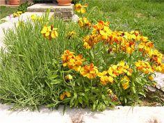 Šeboj Aegean wallflower (Cherianthus cheiri) often seen in gardens throughout Croatia