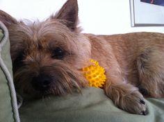 My Cairn terrier Emma