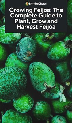 Growing Feijoa: The Complete Guide to Plant, Grow and Harvest Feijoa - Neue Ideen Organic Gardening, Gardening Tips, Sustainable Gardening, Gardening Vegetables, Flower Gardening, Pineapple Guava Tree, Outdoor Gardens, Indoor Outdoor, Plants Indoor