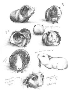Guinea Pig Studies by meh-anne on Deviant Art for sculpture