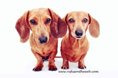 Rufus shares the spotlight today with two gorgeous smooth doxies.  http://wp.me/p27Fw1-uW #dachshund #doxies #stunning