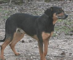 Meet Alf, an adoptable Doberman Pinscher looking for a forever home. If you're looking for a new pet to adopt or want information on how to get involved with adoptable pets, Petfinder.com is a great resource.