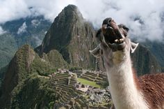 From our new post: Our Machu Picchu Llama picture has gone VIRAL!    This is a first for us and we are super excited! :D
