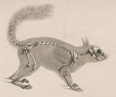 Skeleton of a squirrel / Die vergleichende Osteologie (1821) Sciurus vulgaris - Red squirrel - Wikipedia