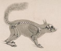Squirrel Skeleton ~ Die vergleichende Osteologie (1821) Sciurus vulgaris ~ Pander, Christian Heinrich, 1794-1865 - Die vergleichende Osteologie
