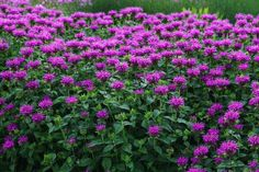 Image result for monarda Saw these at a RHS garden and they were covered in bees. Way more so than any other plant so am keen to get lots