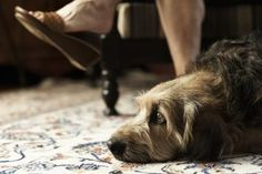 A dog may chew up carpet for a variety of reasons. He may have too much energy and be looking for a way to work it off, he may be scared or anxious, or he may be playing and not realize it's wrong. Whatever his reason for acting badly, you want to stop him and redirect his attention before he destroys your carpets.