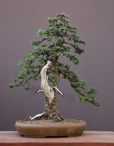 Three Rare & Wonderful Yamadori Bonsai