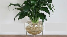 Peace lily grown in water - beautiful root system. Just gorgeous! Plant In Glass, Glass Vase, Peace Lily, Root System, Water Plants, Flora, Green, Gardening, Beautiful