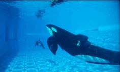 Tilikum at SeaWorld Orlando Nature Animals, Animals And Pets, Cute Animals, Orcas, Keiko Orca, Clearwater Marine Aquarium, Baleen Whales, Save The Whales, Cute Whales