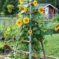 Garden Types, Diy Garden, Garden Trellis, Garden Projects, Garden Ideas, Wall Trellis, Porch Trellis, Wisteria Trellis, Bean Trellis