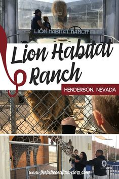 Located about 10 minutes South of the Las Vegas Strip, the Lion Habitat Ranch is a wildlife sanctuary & education center where visitors can observe, learn about & hand feed African lions that used to live at the MGM Grand Hotel & Casino! www.thetattooedtravelers.com // Lion Habitat Ranch Las Vegas // Things To Do In Vegas With Kids // MGM Lions // Feed Lions // #lionhabitatranch #lasvegas #henderson #nevada