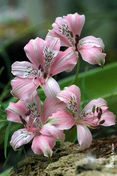 Alstroemeria, also called Peruvian lily or lily of the Incas, by Mark Mazer. These keep so well as cut flowers. Unusual Flowers, Amazing Flowers, Pink Flowers, Beautiful Flowers, Cut Flowers, Lilies Flowers, Asiatic Lilies, Beautiful Gorgeous, Peruvian Lilies