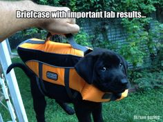 Black lab puppy in orange life vest - briefcase with important lab results