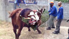 Cow Power Cow muilk Fresh cow milk Cow, Milk, Horses, Fresh, World, Amazing, Youtube, Animals, Animales