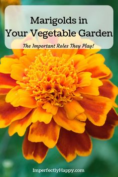 in the Vegetable Garden 6 Important Things They Do 6 BIG reasons you need to be planting marigolds in your vegetable gardens. Find out more about these important companion BIG reasons you need to be planting marigolds in your vegetable gardens. Organic Vegetables, Growing Vegetables, Growing Tomatoes, Gardening For Beginners, Gardening Tips, Gardening Quotes, Marigolds In Garden, Flowers Garden, Vegetable Garden Design