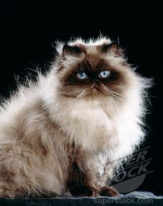 seal point persian kittens | seal point persian cat sitting | Stock Photo #4141-11448