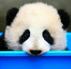 cute Panda for sale Panda Bebe, Red Panda, Panda Panda, Panda Funny, Cute Panda, Panda Facts, Baby Panda Bears, Panda Wallpapers, Lovely Creatures