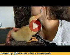 Domowa kaczuszka Śmieszne Filmy Inne zwierzęta http://Zoomia.pl