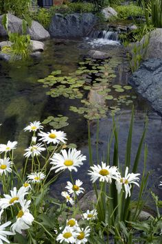 Pond adorned with white daisies