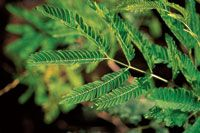 Las mimosáceas, como la dormidera, son comunes en el estrato bajo.