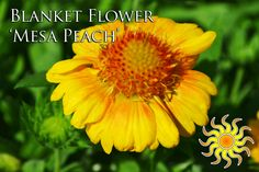 """Blanket Flower 'Mesa Peach' Flowers early summer to autumn, plant in full sun and reaches a height of 16-18"""""""