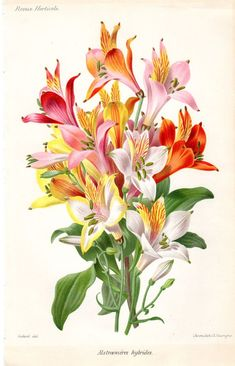 1883 Antique Botanical Print French Peruvian Lily ALSTROEMERIA Vintage Flower Home Decor