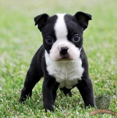 Boston terrier pups for sale vic