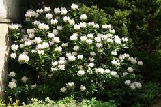 Evergreen and quite slow-growing but eventually makes a shrub about Best in a woodland edge situation. Garden Privacy, Garden Shrubs, Shade Garden, White Gardens, Small Gardens, Outdoor Gardens, Go Green, Hedges, Trees To Plant