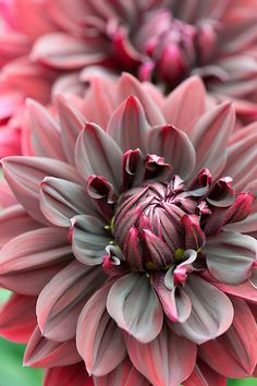 Exotic Flowers, Amazing Flowers, Types Of Flowers, Pretty Flowers, Growing Flowers, Planting Flowers, Dahlia Flower, Purple Dahlia, Flower Farm