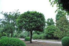 Prunus lusitanica augustifolia, Portuguese laurel, in a tree form. This small leafed-cultivar also can be hard clipped into a hedge.  It is easy to grow in all kinds of soil and growing conditions.