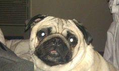 Love me. I love your eye contact mishka. Pugs are such emotional dogs.