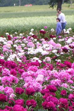 Visit Adelman's Peony Gardens: 5690 Brooklake Rd., NE, Salem, OR. The peony nursery, fields and display gardens are open to the public May – June