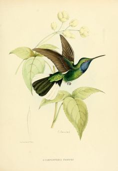 campylopterus ensipenis - high resolution image from old book. Illustration Botanique, Bird Illustration, Botanical Illustration, Vintage Birds, Vintage Art, Hummingbird Drawing, Nature Artists, Bird Pictures, Fauna