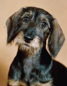 The dachshund is a canine breed noted for its long, brawny body, and short, stubby legs.