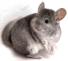 SPS discusses the various different chinchilla noises our furry pets make.