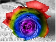 Add more Zen harmony to your house by growing these Amazing Rainbow Rose Plants. The riotous blaze of color will lift your senses and totally baffle all your visitors. You get 100 Rainbow Rose Seeds. Flower Seeds, Flower Pots, Rose Flowers, Potted Flowers, Wedding Flowers, Rainbow Roses, Rainbow Colors, Vivid Colors, Rosa Rose