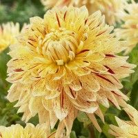 Dinner Plate Dahlia 'Cambridge' has fantastic dinner-plate-sized double-flowers in sunny yellow highlighted by brilliant red. A garden stand-out!