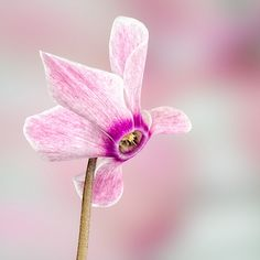 Cyclamen Sugar Flowers, Real Flowers, Beautiful Flowers, Different Types Of Flowers, Flower Pictures, Flower Tattoos, Botany, Flower Power, Orchids