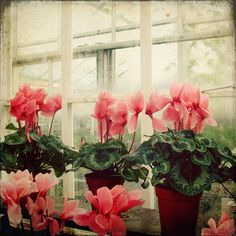 cyclamen. Choose pink flowers and silver leaves for varieties hardy in dry shade. Grow from seed only.