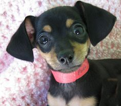 Polka, a Dachshund & Chihuahua Mix Puppy ~ Totally Adorable