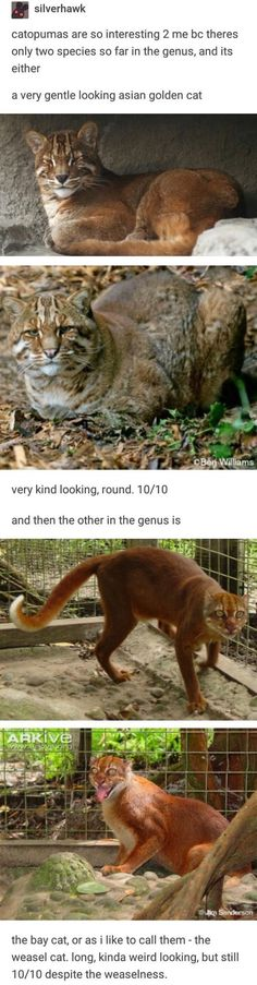 Catopumas are so interesting 2 me bc theres only two species so far in the genus, and its either a very gentle looking asian golden cat very kind looking, round. - Thought this was neat - iFunny :) Cute Funny Animals, Funny Cute, Cute Cats, Super Funny, Hilarious, Animal Facts, Animal Memes, Animals And Pets, Baby Animals