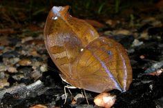 Essa borboleta do gênero  Napeocles fica extremamente bem camuflada no chão de folhas secas da Floresta Amazônica – Foto: Fábio Paschoal