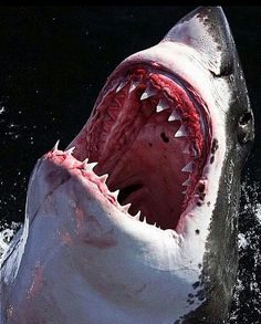 sharks_favzone Tag a shark lover By . Shark Pictures, Shark Photos, Underwater Creatures, Ocean Creatures, Orcas, Beautiful Creatures, Animals Beautiful, Shark Bait, Great White Shark